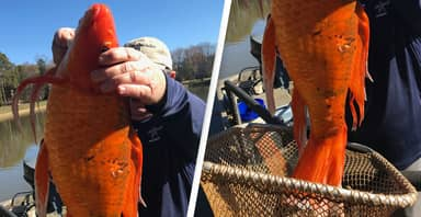 Park Workers Find Huge 9-Pound Goldfish In Lake During Routine Water Check