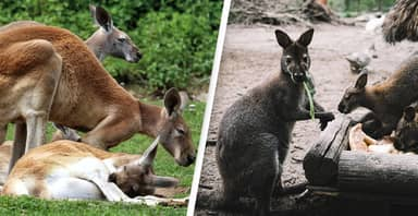 Kangaroos Can Communicate With People, Study Shows