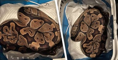 Merseyside Couple Shocked To Find 4ft Python Behind Tumble Dryer