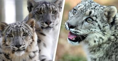 Three Snow Leopards Test Positive For Coronavirus At Louisville Zoo