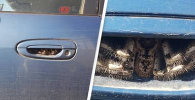 Terrified Woman Finds Huge Spider Hiding In Her Car Door Handle