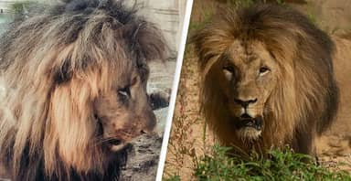 Four Lions Test Positive For Covid-19 At Barcelona Zoo
