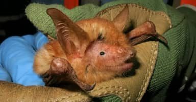 Scientists Discover 'Striking' New Species Of Bright Ginger Bat