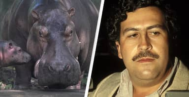 Pablo Escobar's Escaped 'Cocaine Hippos' To Be Culled To Stop Reproduction