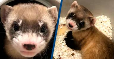 Ferret Who Died 30 Years Ago Becomes America's First Endangered Animal To Be Cloned