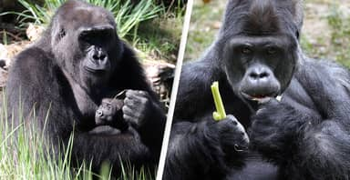 Tourists Taking Selfies With Gorillas Could Be Giving Them COVID