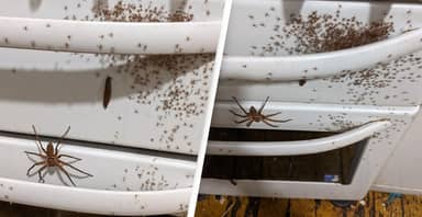Student Finds Huge Huntsman Spider With Army Of Offspring On Oven