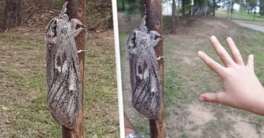 Brisbane Woman Discovers Moth Size Of Human Hand With 10-Inch Wingspan