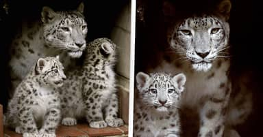 Snow Leopard Whose 7 Cubs Helped Conservation Efforts Dies Aged 17