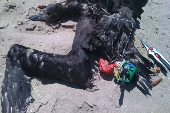Black-footed-Albatross-killed-by-latex-balloons-and-cotton-string