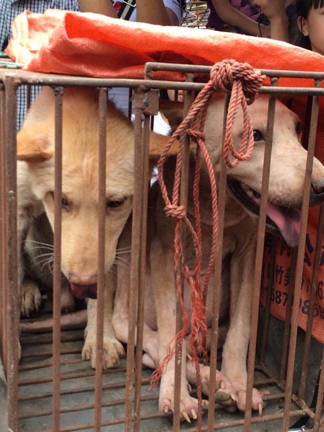 Caged dogs in Yulin