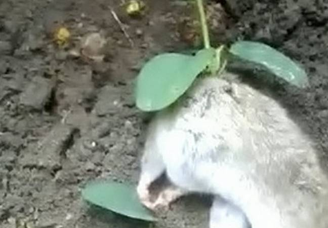 rat plant growing out back