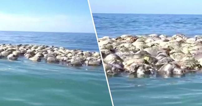 Turtles trapped in net