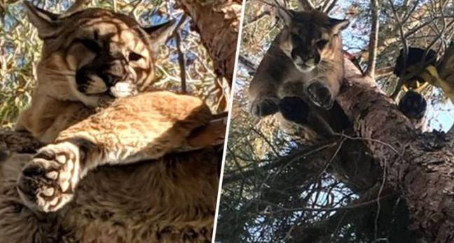 Mountain lion found up tree in California.