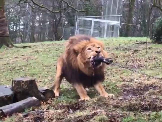 Dartmoor Zoo offer tug of war experience with lions and tigers