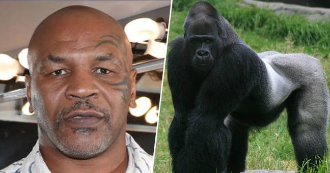mike tyson wanted to fight a gorilla