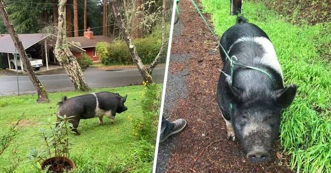 princess pig killed by neighbour and slaughtered for meat