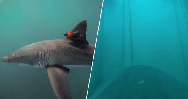 Scientists capture great white shark footage