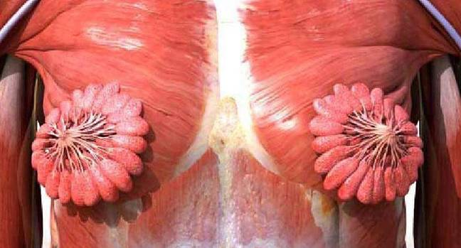 Female muscles milk ducts