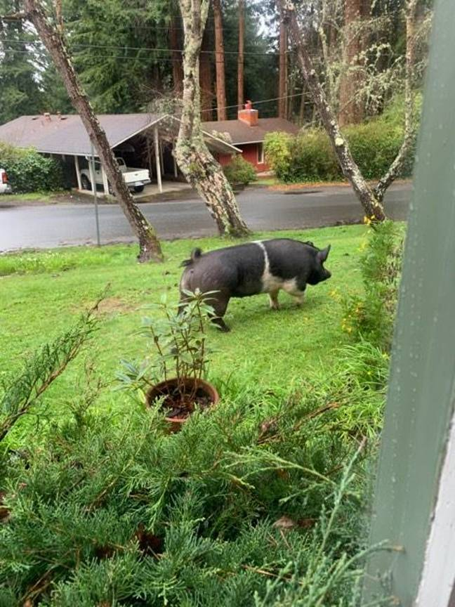 pig killed by neighbour slaughtered for meat