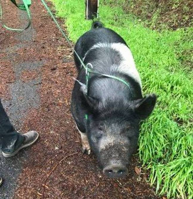pig killed by neighbour for meat