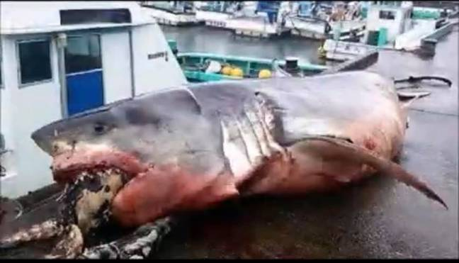 great white shark after choking to death on a sea turtle