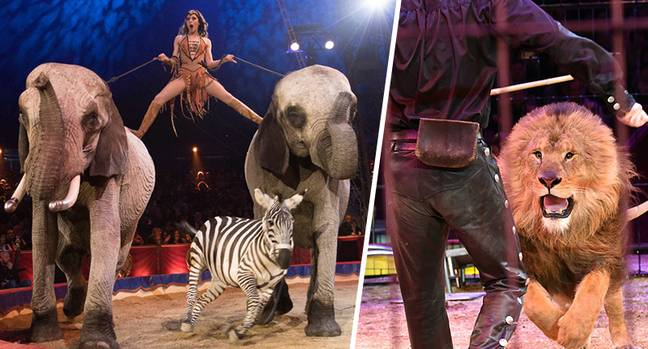 Circuses banned from using wild animals