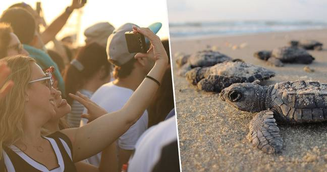 Music Festival Delayed To Protect Endangered Sea Turtles