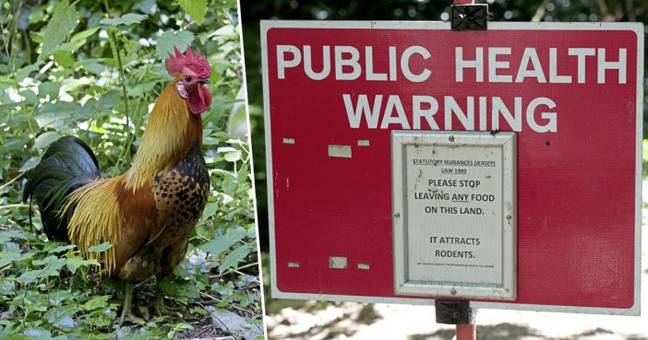 Chickens are terrorising Jersey residents.