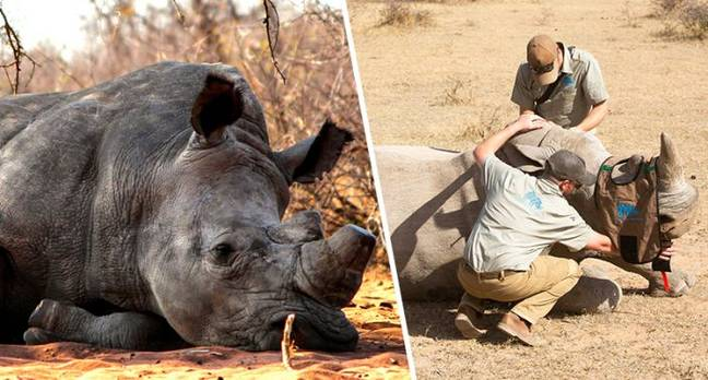 Conservationists poison rhino horns to protect them from poachers.