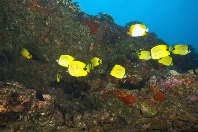 butterfly fish off the coast of Hawaii