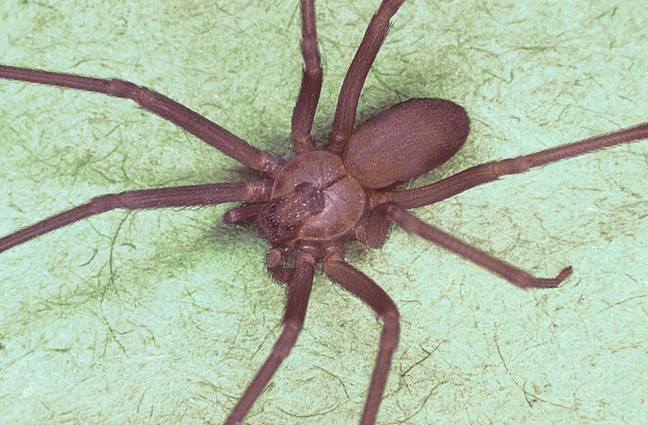 Woman Thinks She Has Water In Her Ear, Doctors Find Venomous Brown Recluse