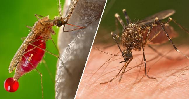 Animal Rights Activist Urges People To Let Mosquitoes Drink Their Blood