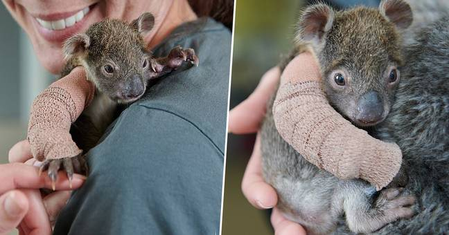 Baby Koala Gets Mini-Cast To Repair Broken Arm After Fall From Logging Plantation Tree