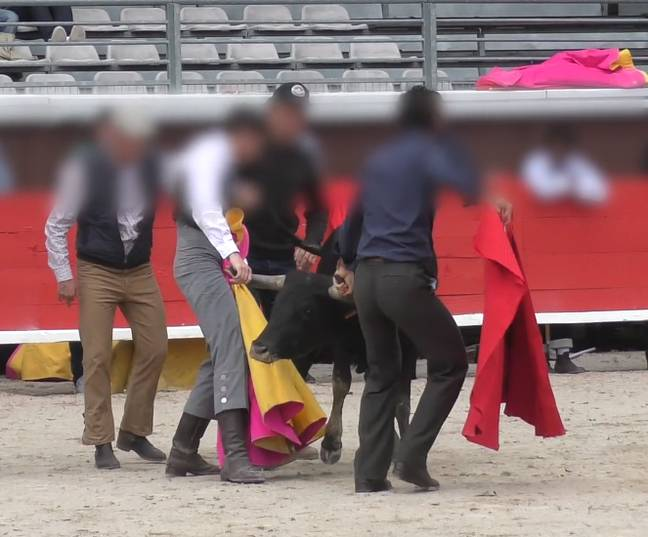 Young Bull Collapses From Exhaustion At French Bullfighting School