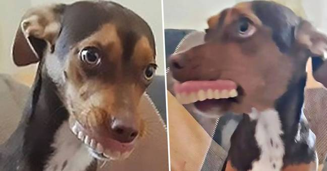 Dog Poses With Human's Dentures After Stealing Them From Under Pillow