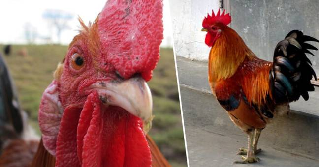 Woman Killed By Her Own Pet Rooster