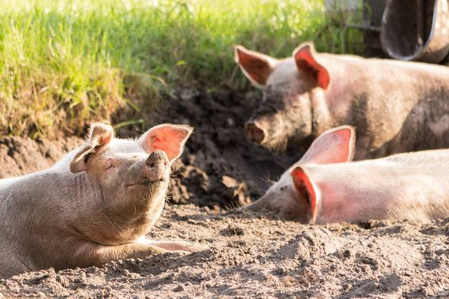 Pigs playing in the mud