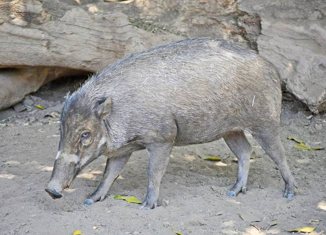 Pigs Spotted Using Tools For First Time, Study Shows