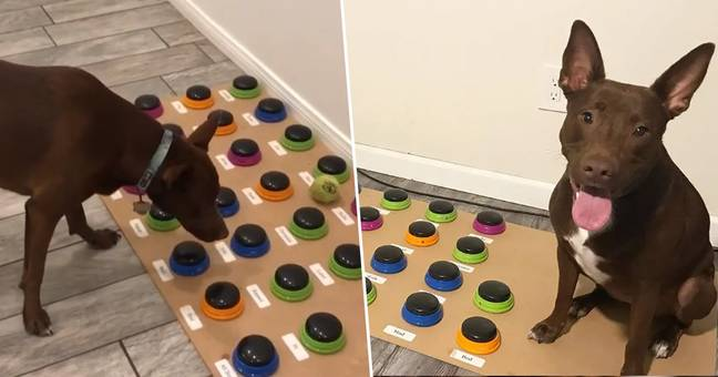 Dog Learning To Talk By Using A Custom Soundboard 'Similar To 2 Year Old'