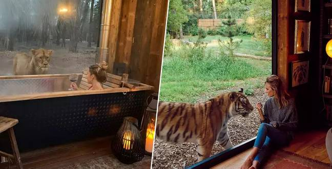 Safari Park Hotel Offering Guests Opportunity To 'Sleep With Lions'