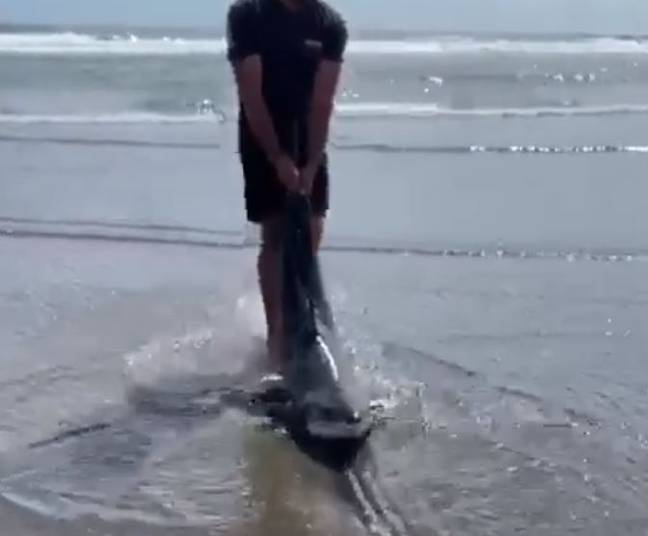 Man rescues beached great white shark