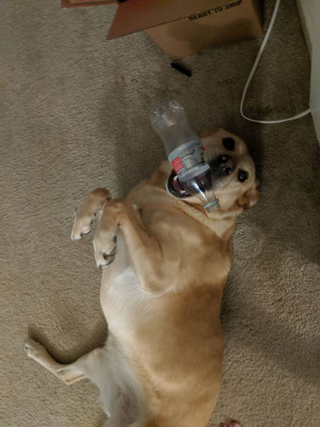 Dog presenting her owner with a coke bottle as a gift