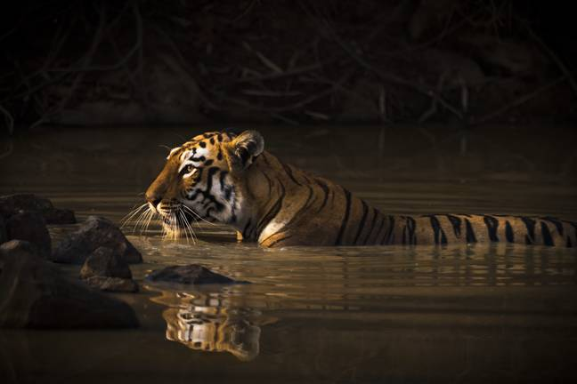 Tiger Walks 807 Miles In Search Of Sex Thumb