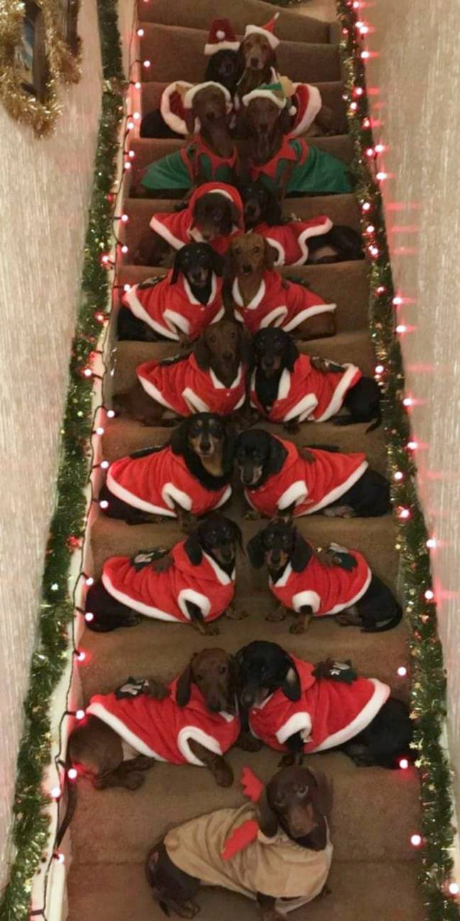 Sausage dog owner lines up 17 pups for Christmas photo