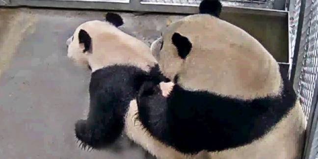 Dutch Zoo Share Photos Of Pandas Mating After Waiting Three Years For Them To Get It On
