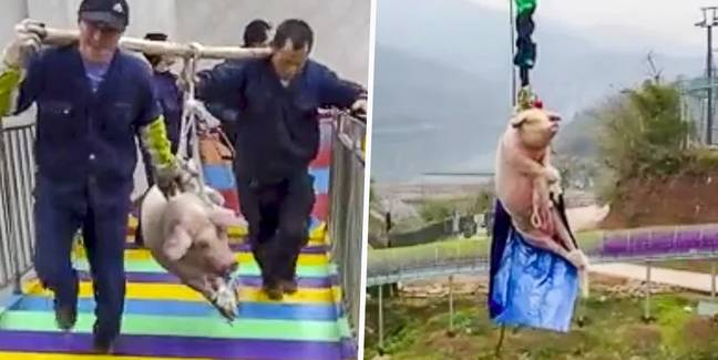 Theme Park Slammed For Making Pig Bungee Jump 230 Feet High To Launch New Attraction