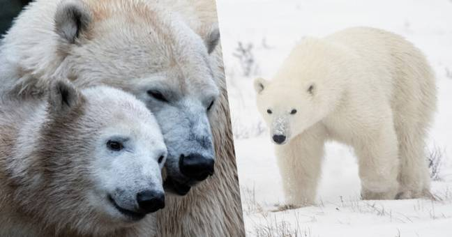 Polar Bears Will Go Extinct If Trophy Hunting Doesn't Stop, Expert Warns