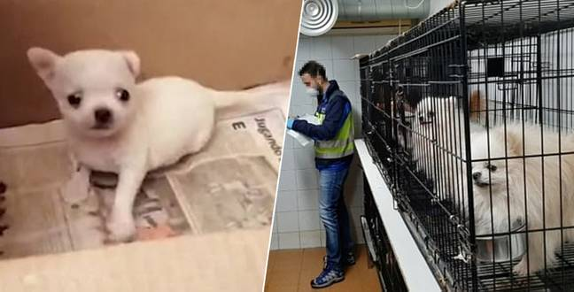 Over 200 Dogs Who had Their Vocal Cords Cut Rescued From Cruel Breeders