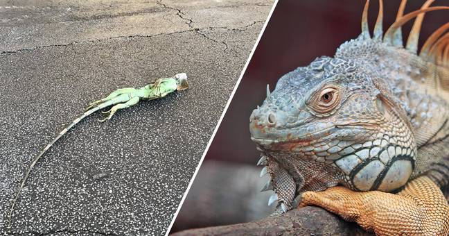 It's So Cold In Florida Iguanas Are Freezing Solid And Falling Out Of Trees